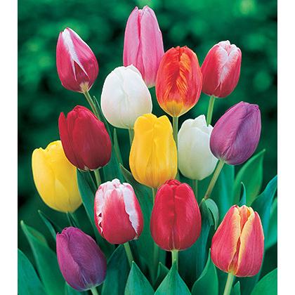 פרחי צבעוני