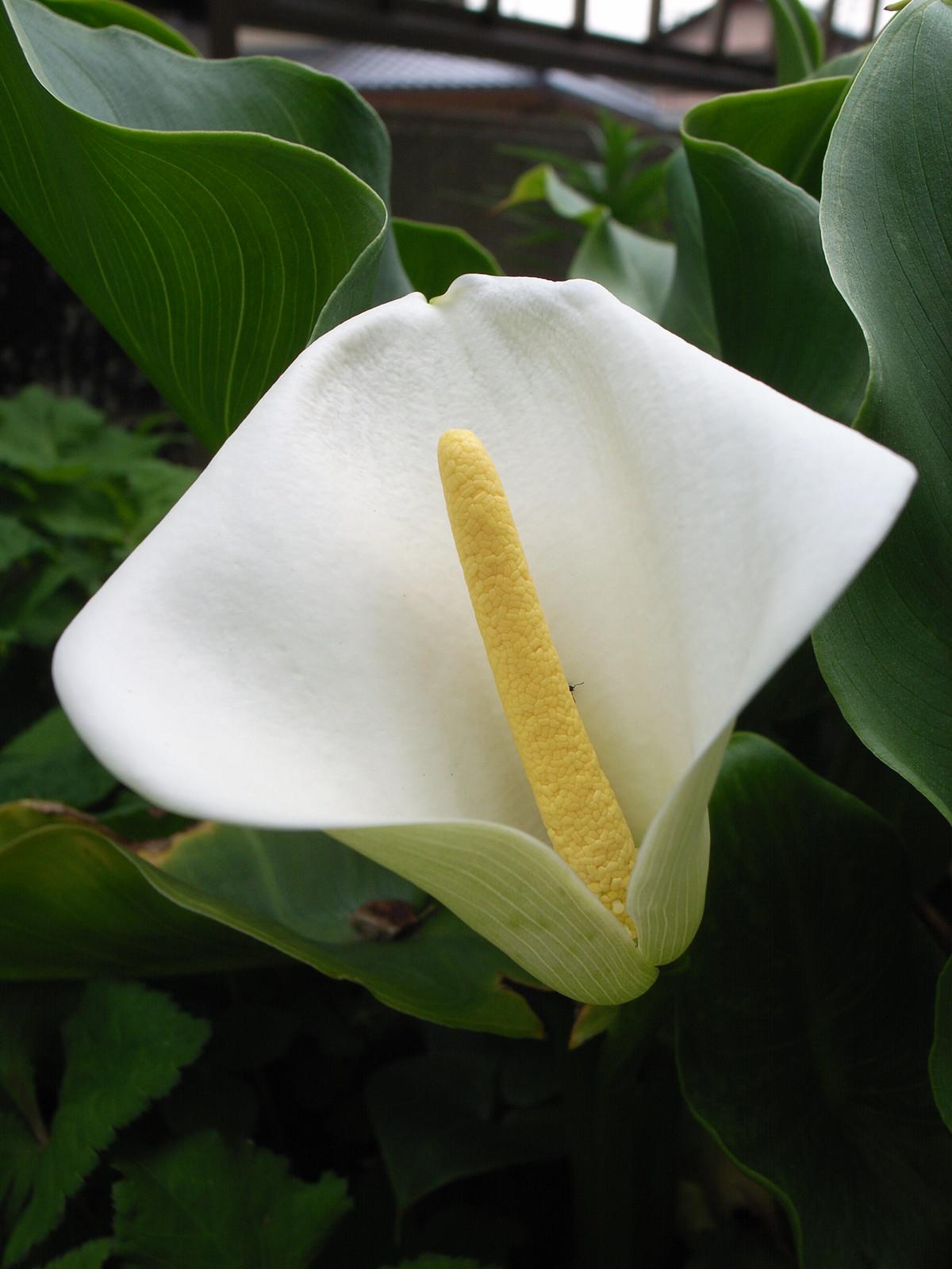 פרח קלה