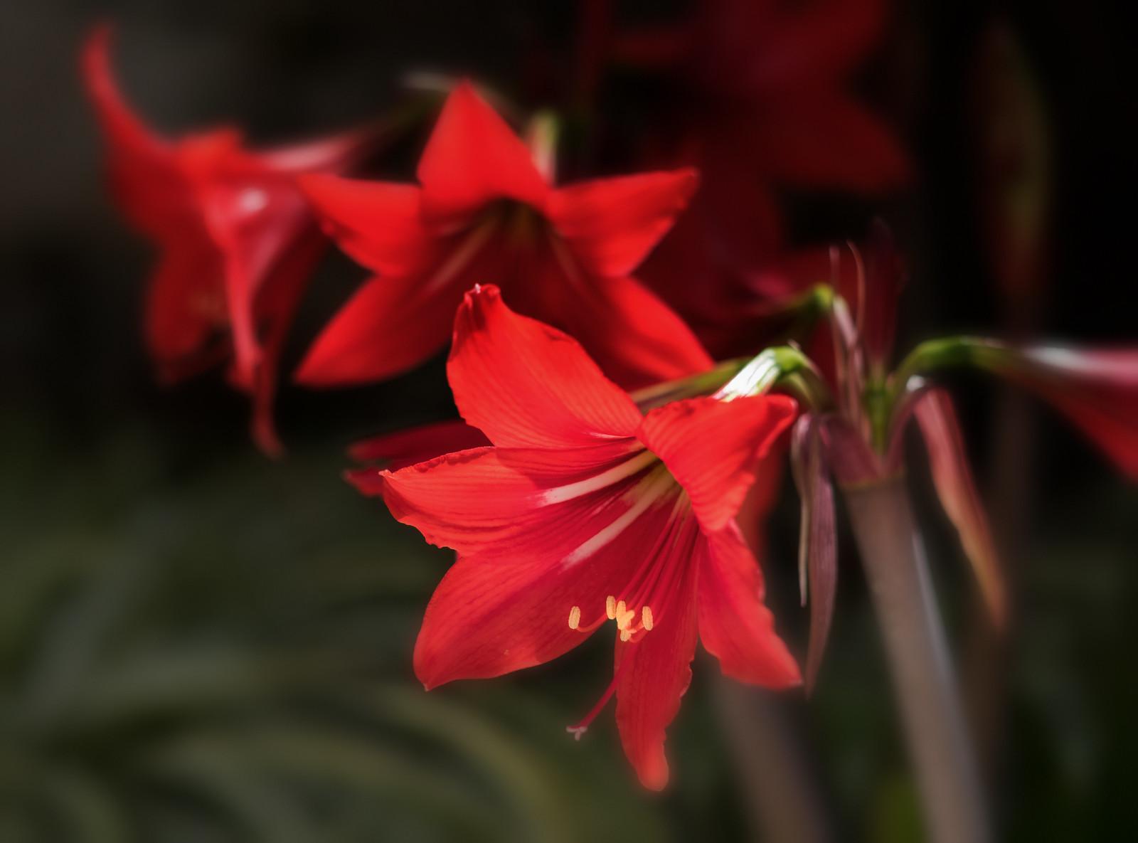 אמריליס אדום