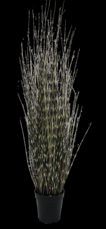 שבטבטים מנומר בעציץ כ-90 ס