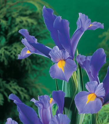 פרח אירוס הולנדי