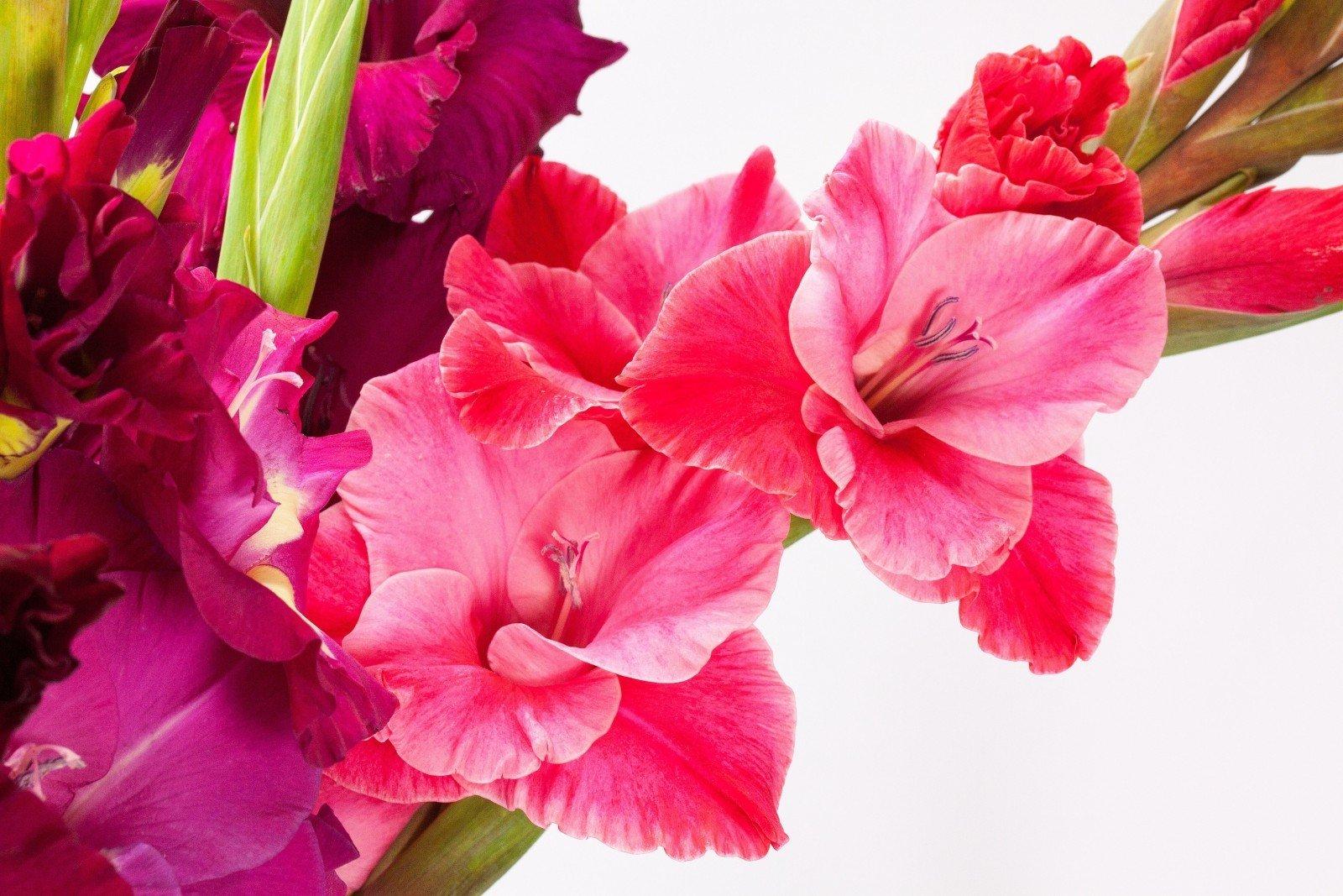 פרח סיפן גלדיולה