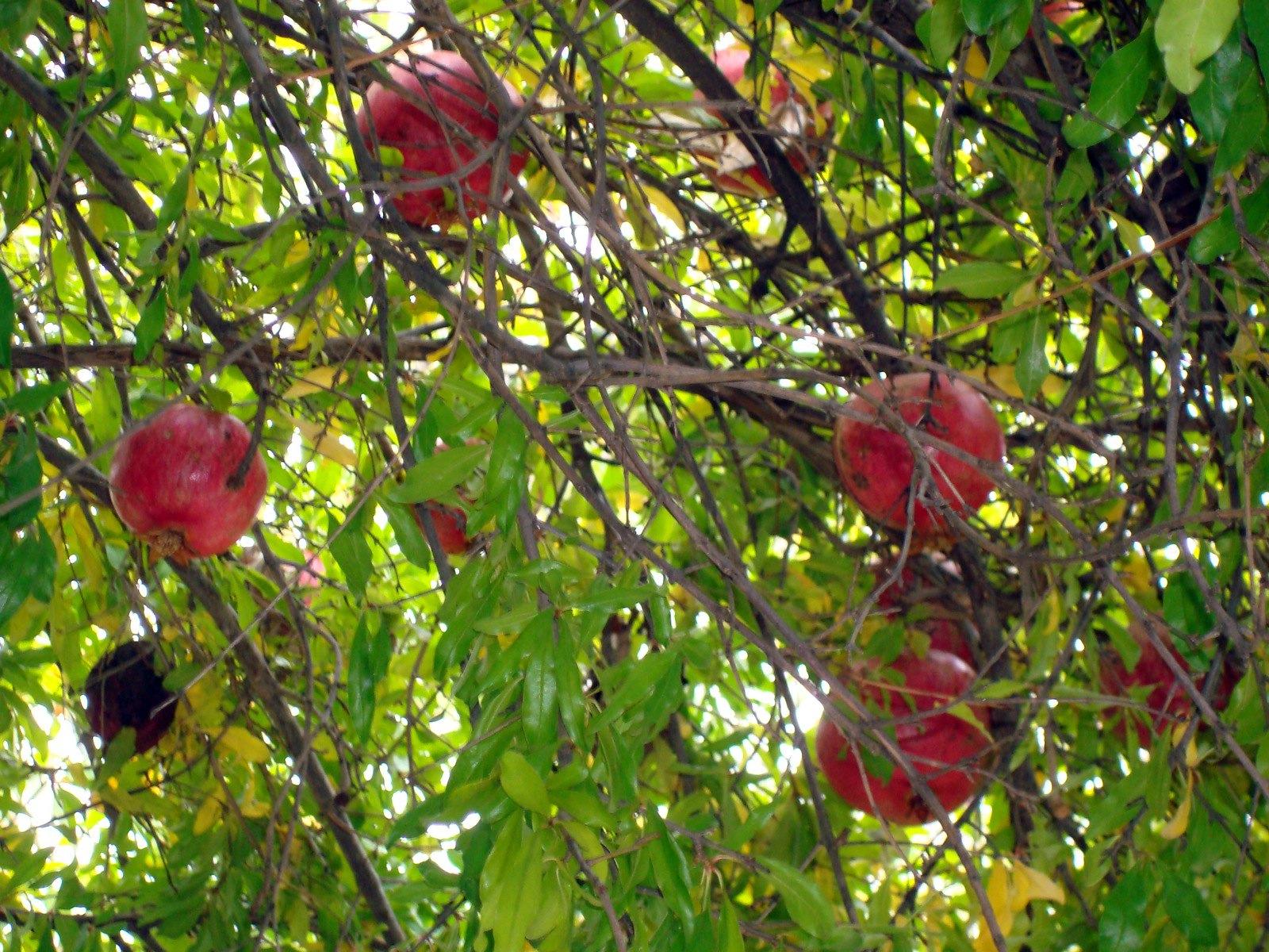 עץ רימונים