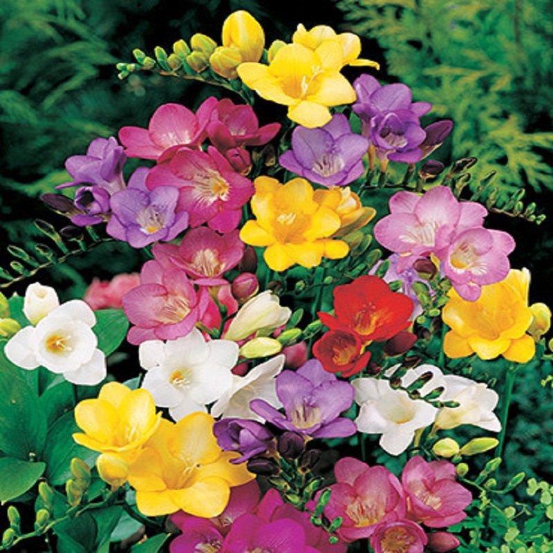 פרחי פרזיה