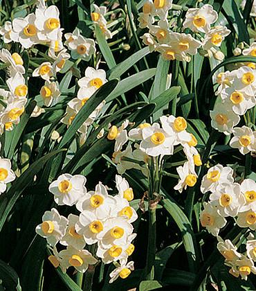 פרחי נרקיס ריחני