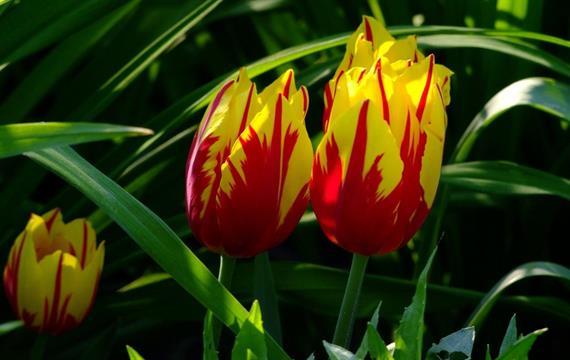 פקעות / בצלי העונה- המפתח לגינה פורחת