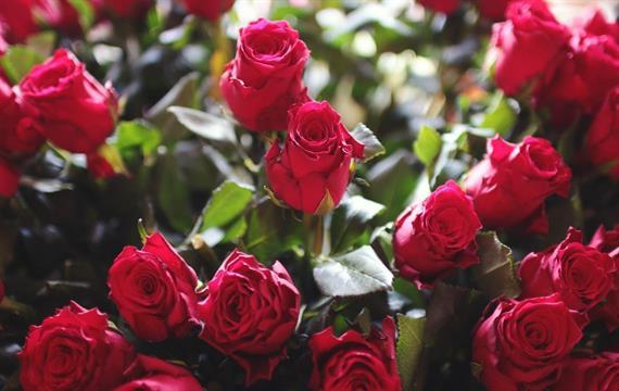 המלצות לשתילת ורדים בחודשים ינואר פבואר