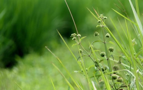 כיצד מונעים עשבייה רחבת עלים במדשאה?